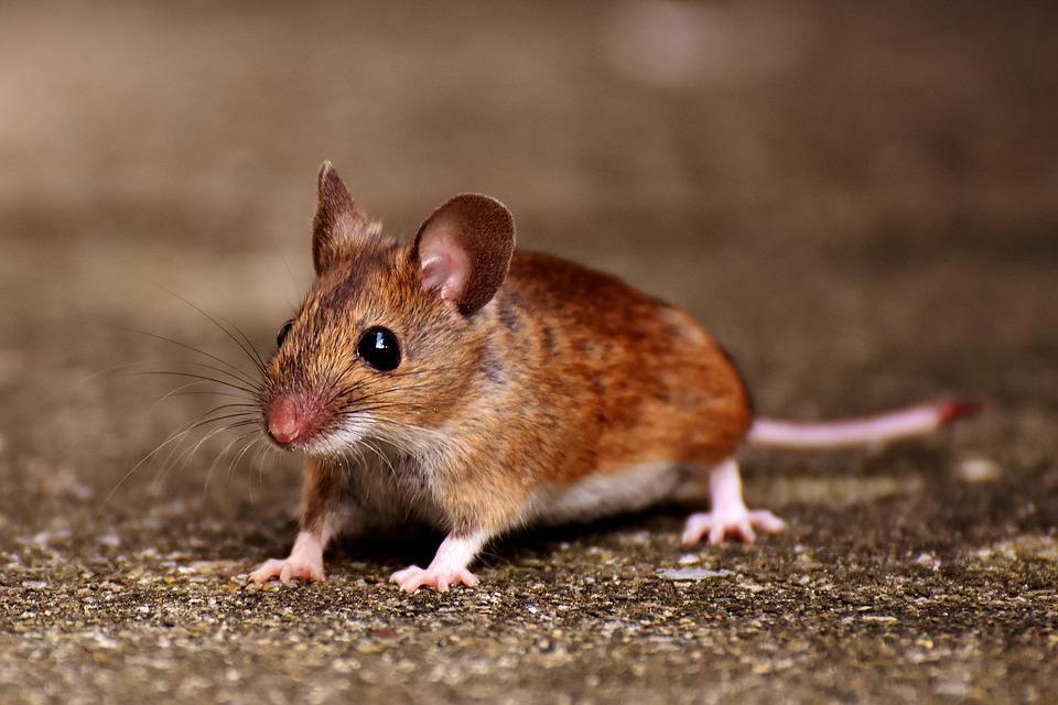 עכבר בבית – האם עדיף להדביר או להרחיק?