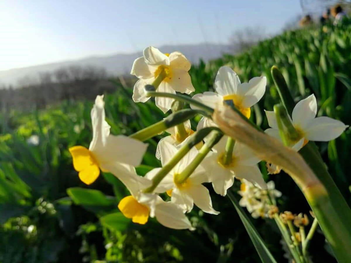 אל פריחת הנרקיסים: טיול ל'אחו נוב' בדרום רמת הגולן